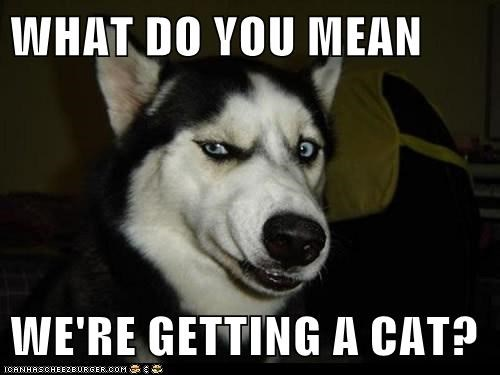 angry,cat,dogs,grr,huskie