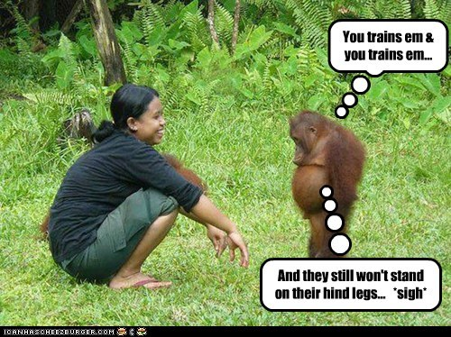 disappointed,hind legs,orangutan,sigh,train,trying