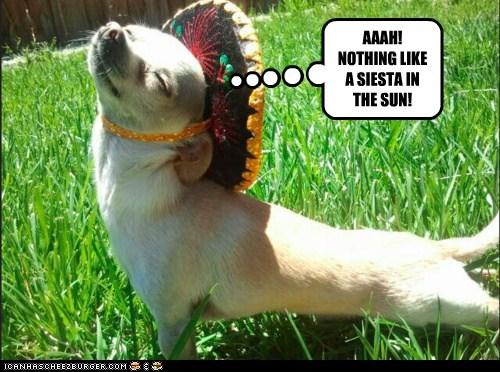 chihuahua,dogs,hat,siesta,sombrero,sunshine