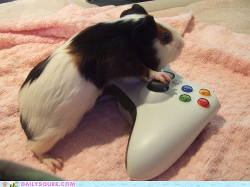 buttons,controllers,gpigs,guinea pig,guinea pigs,pet,pets,squee,video games,xbox 360