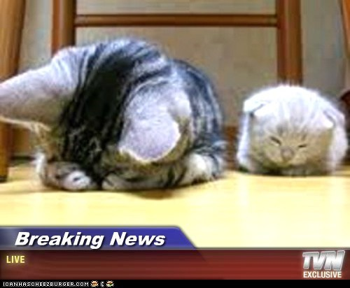 Noticia de Ultima Hora, Gatos presos em flagrante por roubar mingal