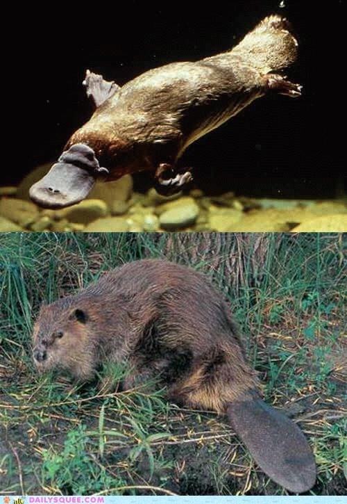 Battle,beaver,platypus,squee spree,swimmer