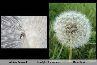 dandelion,funny,peacock,TLL
