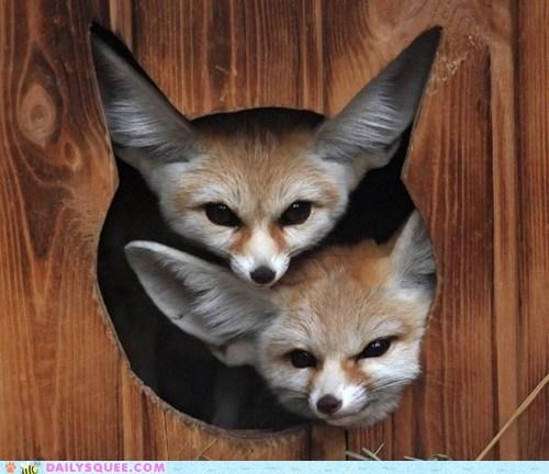 ears,fennec foxes,fox,honeymoon,room for 2