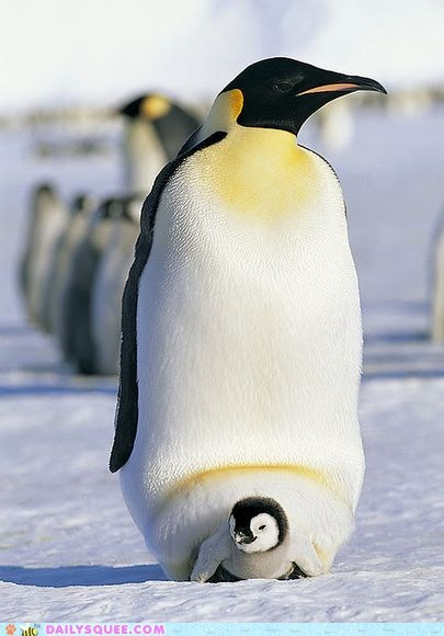 Best Animal Dads: Emperor Penguin