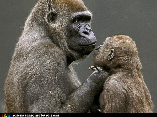 "Gorillas Have Their Own Brand of ""Baby Talk."""
