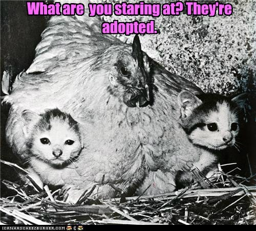 chicken,kitten,mom,nursing
