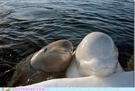 beluga whale,best friends,ocean,squee,whales