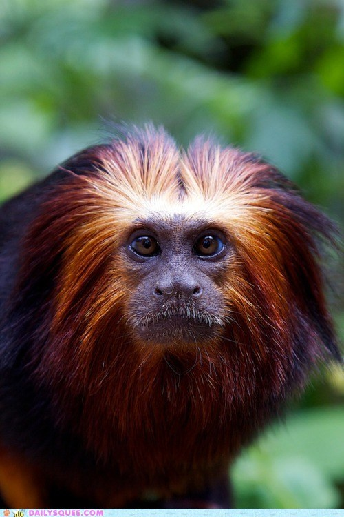 fabulous,golden lion tamarin,hair,monkey,squee,tamarin