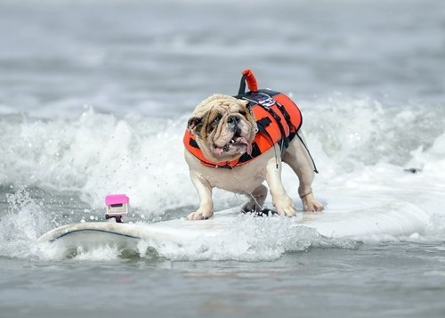 Look At This Surfing Dog of the Day