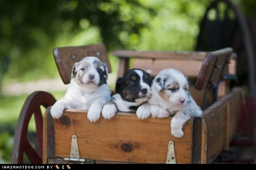 Cyoot Puppy ob teh Day: Wagonful of Puppies