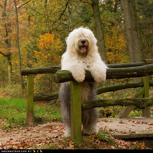 Goggie ob teh Week FACE OFF: Old English Sheepdog
