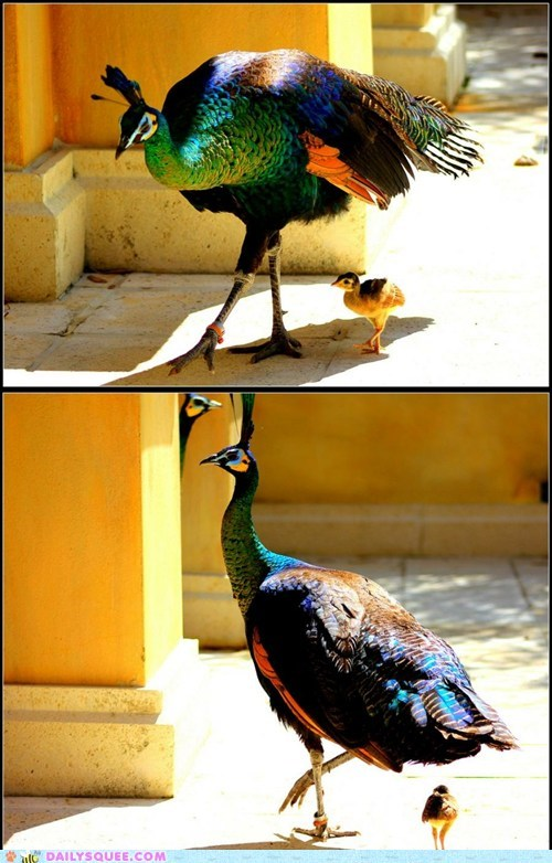 bird,chick,father and son,peacock,strutting