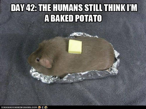 baked potato,butter,disguises,food,guinea pigs,rodents,tin foil