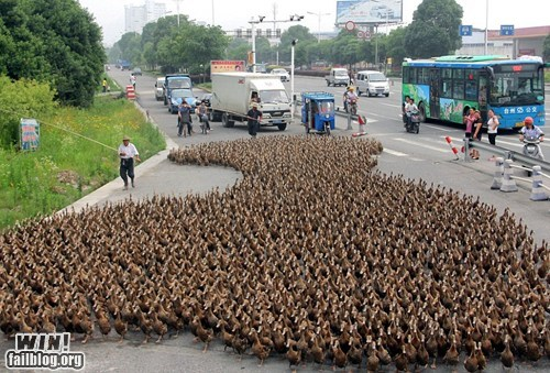 Duck Parade WIN