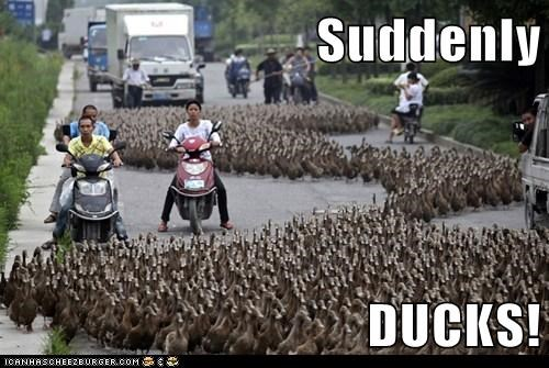 Suddenly  DUCKS!