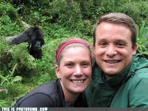 animal,Animal Bomb,gorilla,photobomb,rustled my jimmies