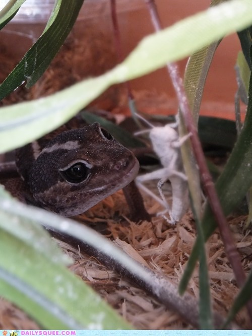 bug,gecko,hunting,lizard,pet,reader squee
