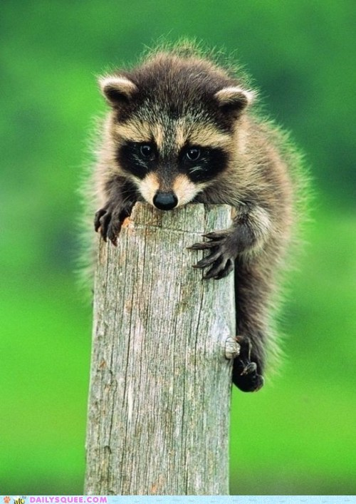 baby,black and white,claws,floofy,post,racoon