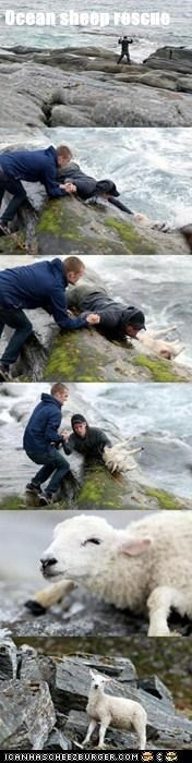 Ocean sheep rescue