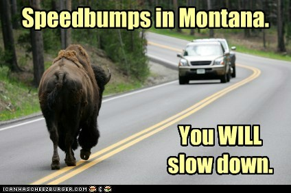 buffalo,dangerous,driving,Montana,safety,slow down,speed bumps,street