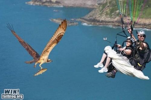 animals,hang gliding,hawk,oh hai,wedding