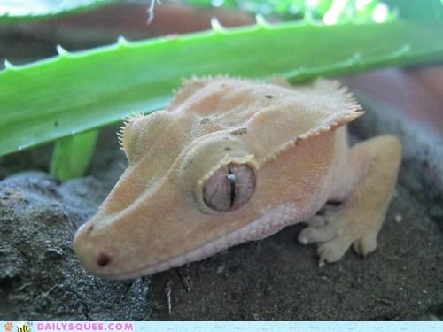 aloe vera,gecko,lizard,pet,reader squee