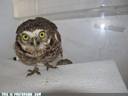 animal,Animal Bomb,best of week,Impending Doom,Owl,SOON