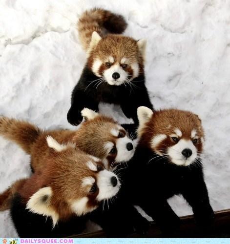 bamboo,cupcake,fighting,group,red panda,snow