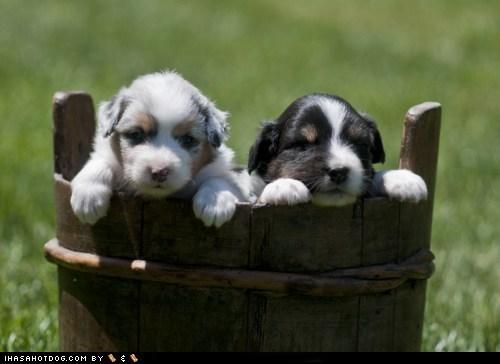 australian shepherd,bucket,cyoot puppy ob teh day,dogs