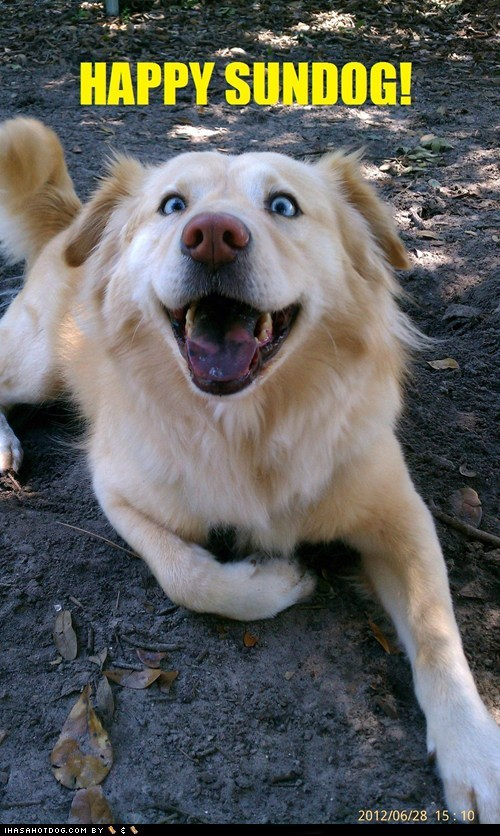 blue eyes,dogs,happy,happy sundog,what breed