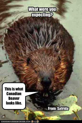 How 'Bout a Little Canada Day Beaver for my Cheezpeeps?