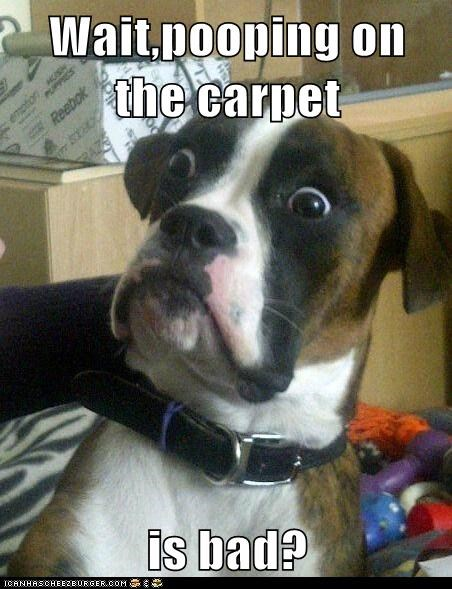 Animal Memes: Baffled Boxer - But It Really Compliments the Color