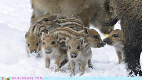 pig,Babies,winter,snow,boar,wild,Winter Is Coming