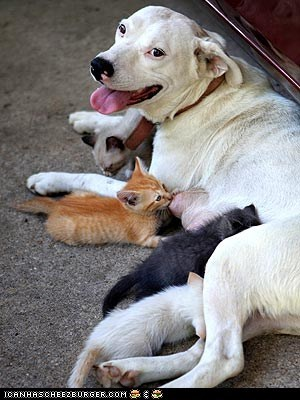 Around the Interwebs: English Bulldog Cares for Orphaned Kittens