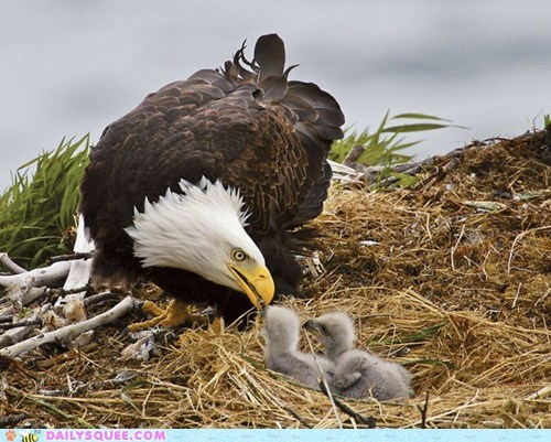 Daily Squee: Baby Bald Eagles