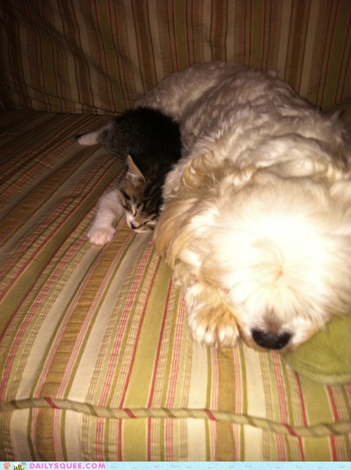 cat,dogs,Interspecies Love,link,pet,reader squee,shih tzu,sofa