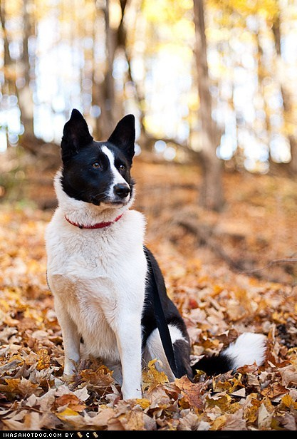 Goggie ob teh Week FACE OFF: Karelian Bear Dog