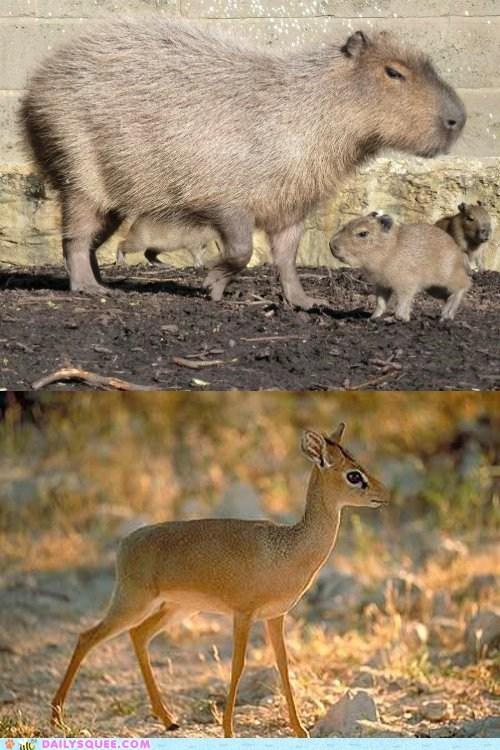 Squee Spree: Capybara vs. Dik Dik
