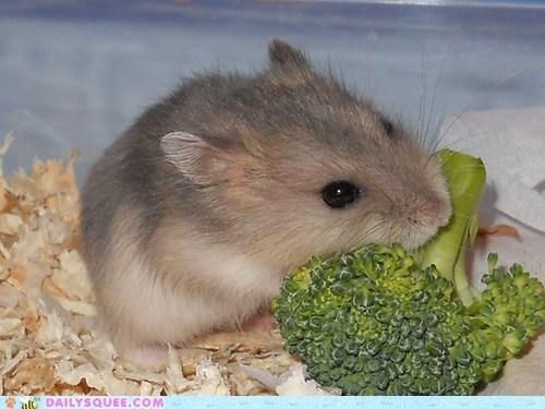 broccoli,hamster,pet,reader squee,snack