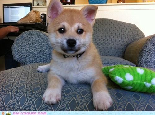 american eskimo dog mix,pet,Pillow,puppy,reader squee,shiba inu