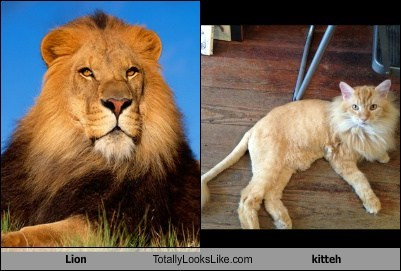 Lion Totally Looks Like kitteh