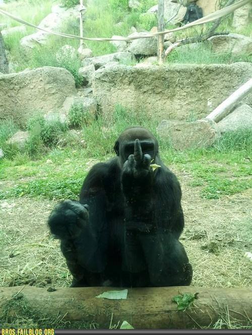 animals,ape,chimp,chimpanzee,f you,finger,manimals,middle finger,monkey