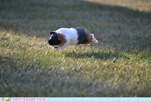 agility,grass,guinea pig,hover,running,squee