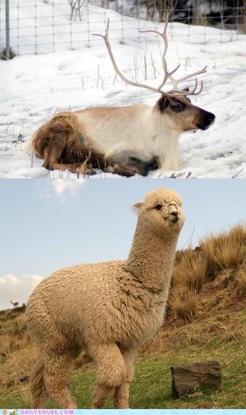 alpaca,face off,reindeer,squee spree,versus