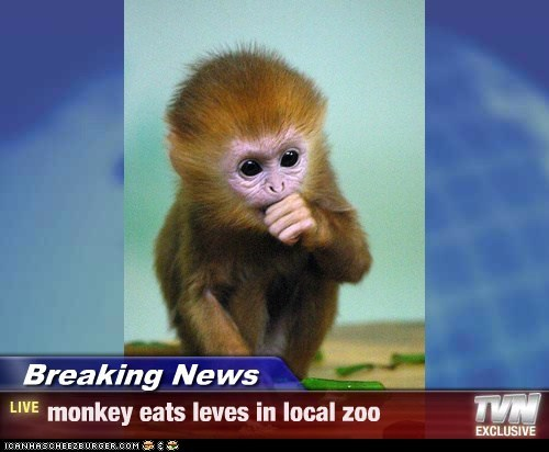Breaking News - monkey eats leves in local zoo