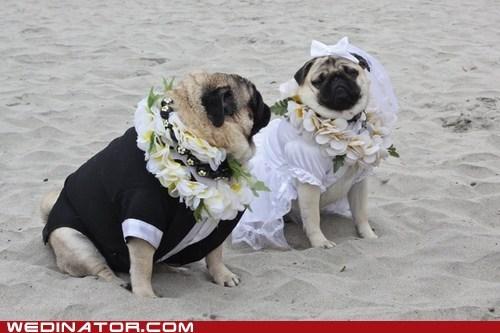 beach wedding,dogs,funny wedding photos,pugs
