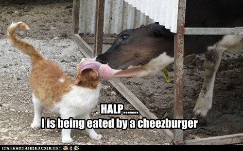 alive,best of the week,captions,Cats,cheezburger,cow,gross,lick,meat,Soviet Russia