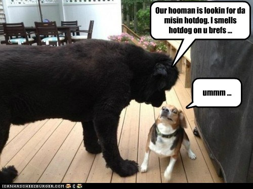 beagle,dogs,hotdogs,newfoundland,suspicious,theif