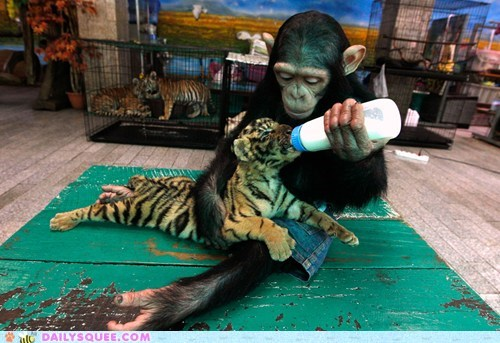 bottle feeding,chimpanzee,Interspecies Love,nursing,tiger